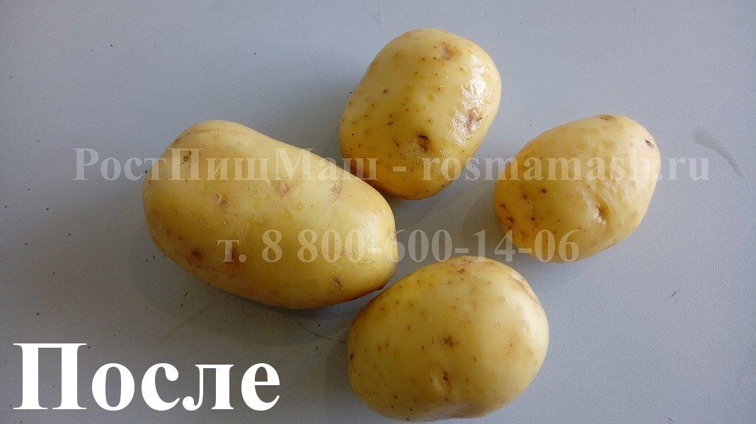 Мытый картофель на Машине для полировки и мойки корнеплодов GB-1000